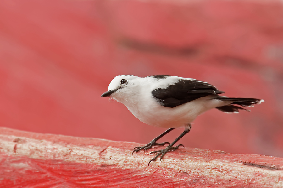 Pied Water-tyrant - Guarinocito - 2016-08-22 - 03 copy PBase