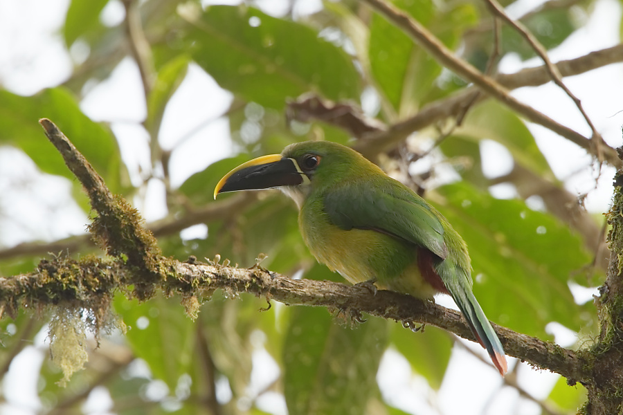 Emerald Toucanet - Jardin - 2016-08-26 - 01 copy PBase
