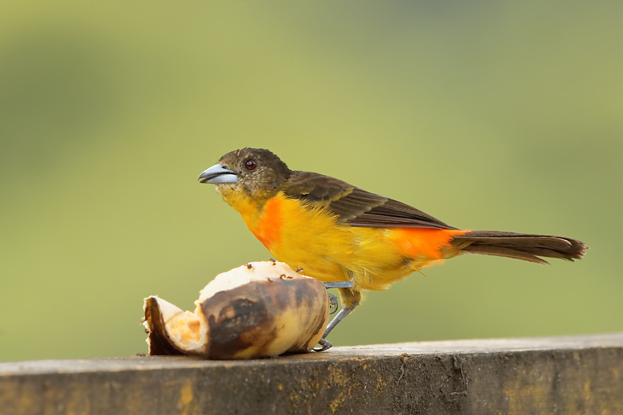 Flame-rumped Tanager - La Pinuela - 2016-08-25 - 03 copy PBase