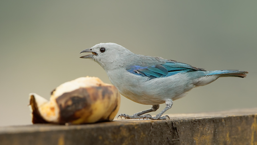 Blue-grey Tanager - La Pinuela - 2016-08-25 - 02 copy PBase