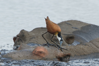 African Jacana - St Lucia - 2014-09-07 - 04
