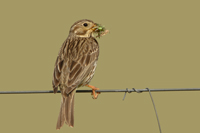 Corn Bunting - Caceres - 2008-04-26 - 08