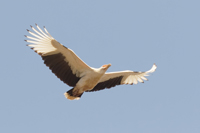 Palm-nut Vulture - Kartong - 2016-02-04 - 01