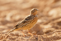 Red-throated Pipit - Yotvata - 2014-03-27 - 10 copy