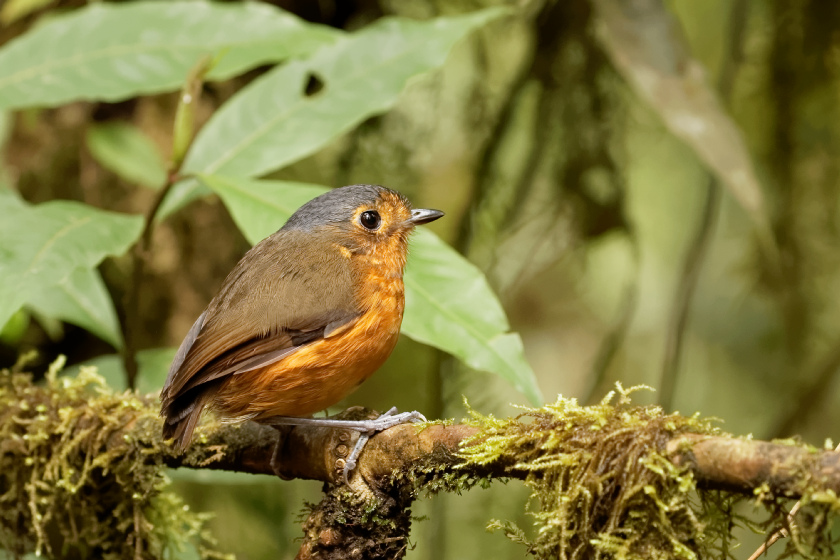Slaty-crowned Antpitta_-_Rio_Blanco_-_2016-08-28_-_06_copy_X