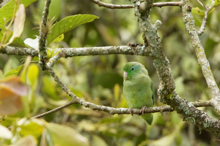 Spectacled Parrotlet_-_La_Pinuela_-_2016-08-25_-_04_copy_X