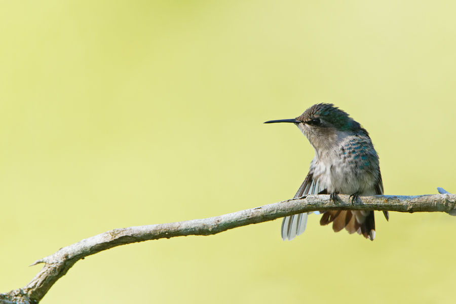 Bee Hummingbird - Soplillar - 2012-11-20 - 13 copy PBase