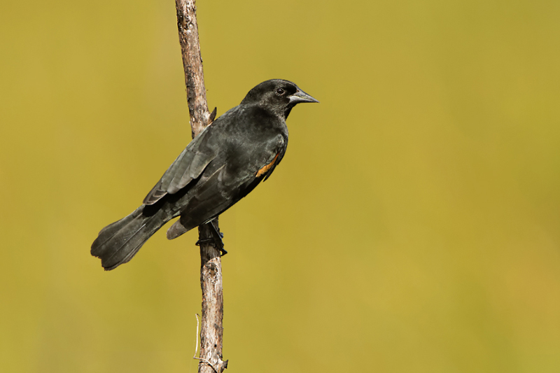 Red-shouldered Blackbird - Playa Larga - 2012-11-19 - 10 copy PBase