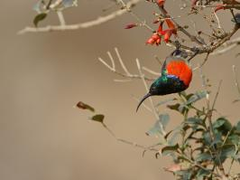 Greater Double-collared Sunbird - Underberg - 2014-09-10 - 03 copy PBase Op de site zetten