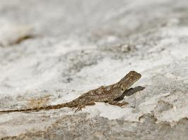 Lizard species unknow - Hermanus - 2014-09-13 - 01 copy PBase Op de site zetten
