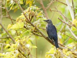 Red-winged Starling - Cape Town - 2014-09-16 - 01 copy PBase Op de site zetten