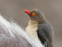 Red-billed Oxpecker - Mkuze - 2014-09-04 - 10 copy PBase Op de site zetten