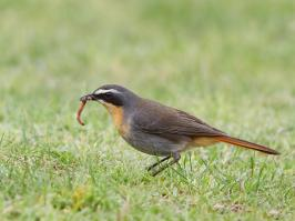 Cape Robin-Chat - Hermanus - 2014-09-14 - 03 copy PBase Op de site zetten