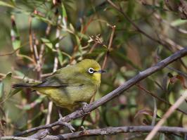 African Yellow White-eye - Wakkerstroom - 2014-09-02 - 02 copy PBase Op de site zetten