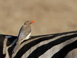 Red-billed Oxpecker - Mkuze - 2014-09-04 - 03 copy PBase Op de site zetten