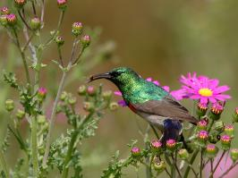 Southern Double-collared Sunbird - Cape Town - 2014-09-16 - 07 copy PBase Op de site zetten
