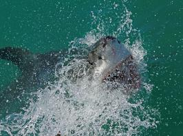 Great White Shark - Gansbaai - 2014-09-13 - 14 copy PBase Op de site zetten
