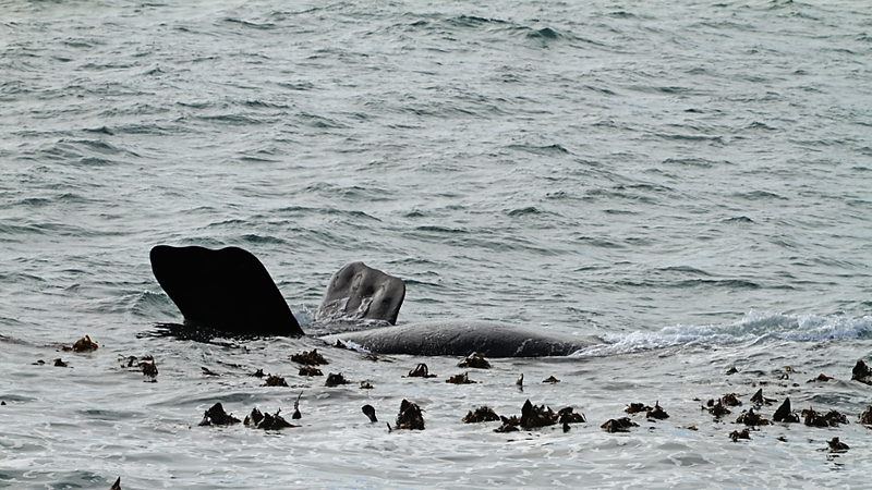 Southern Right Whale - Hermanus - 2014-09-13 - 06 copy PBase